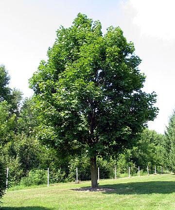 Acer platanoides - Arce platanoide ...